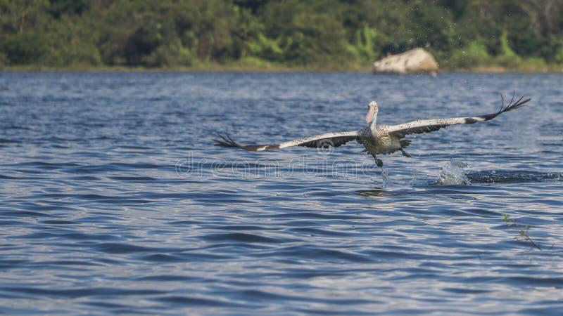 Пеликан на воздухе стоковое изображение rf