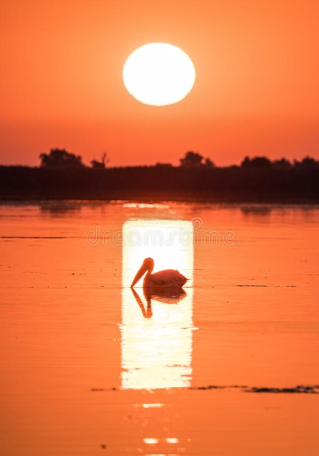 Пеликан на восходе солнца в перепаде Дуная, Румыния стоковое фото rf