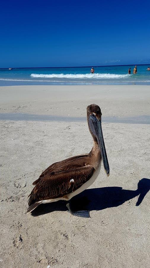 Пеликан на пляже в городе Варадеро стоковая фотография