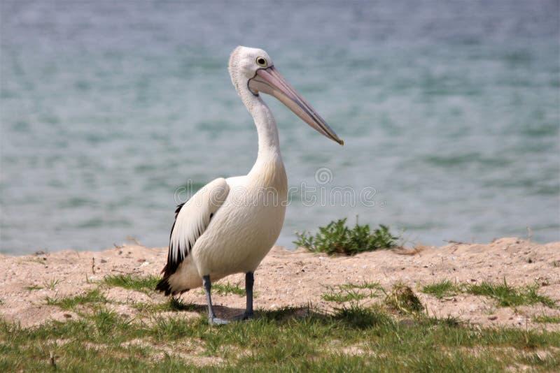 Пеликан на пляже стоковые фото