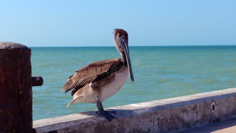 Пеликан на пристани в Progreso, Мексике стоковая фотография
