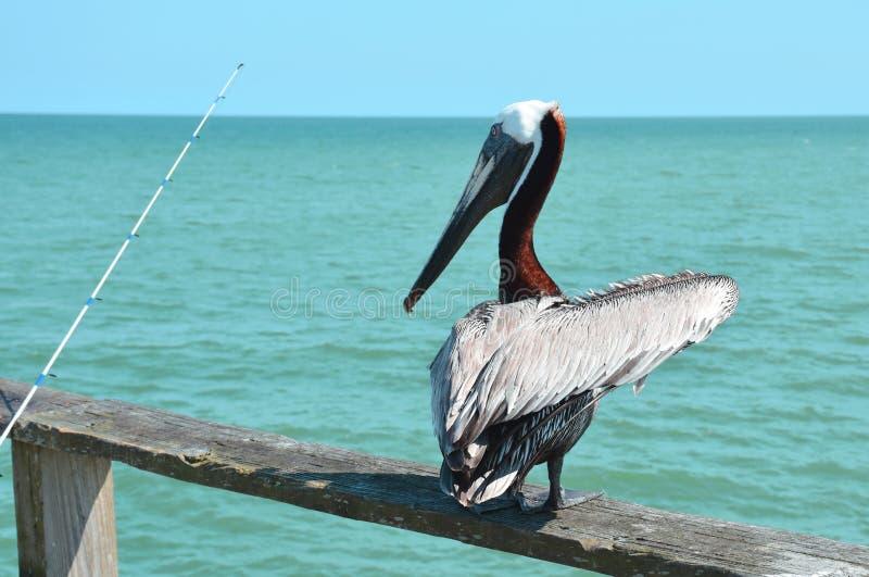 Пеликан на удить пристань стоковая фотография