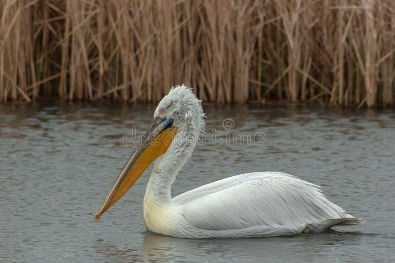 Пеликан около заплывов тростников в озере стоковое фото