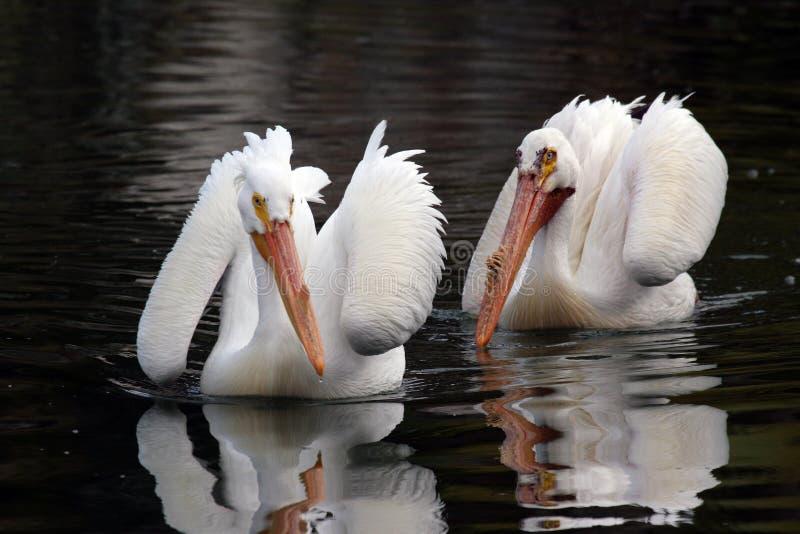пеликан пар стоковое изображение