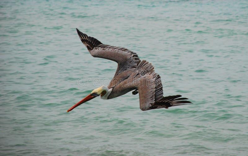 пеликан подныривания стоковое изображение rf