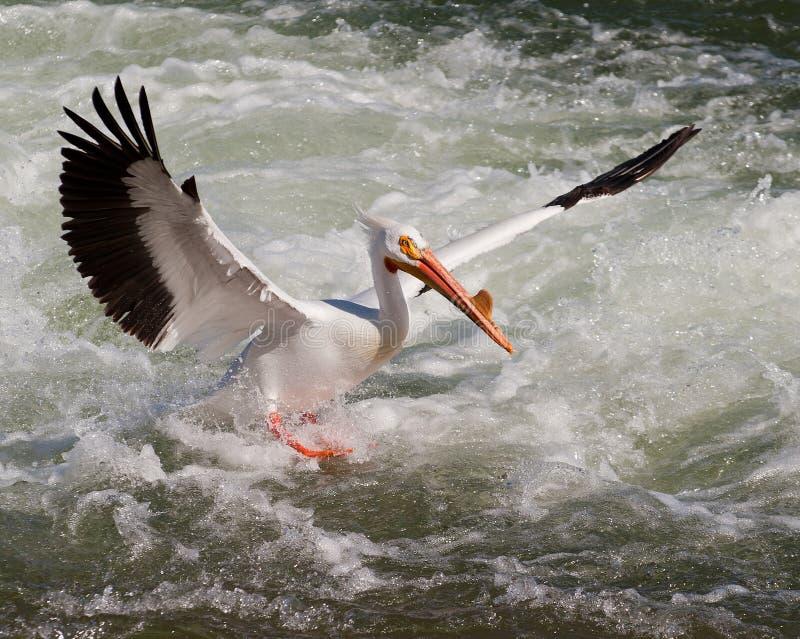 пеликан посадки стоковые изображения rf