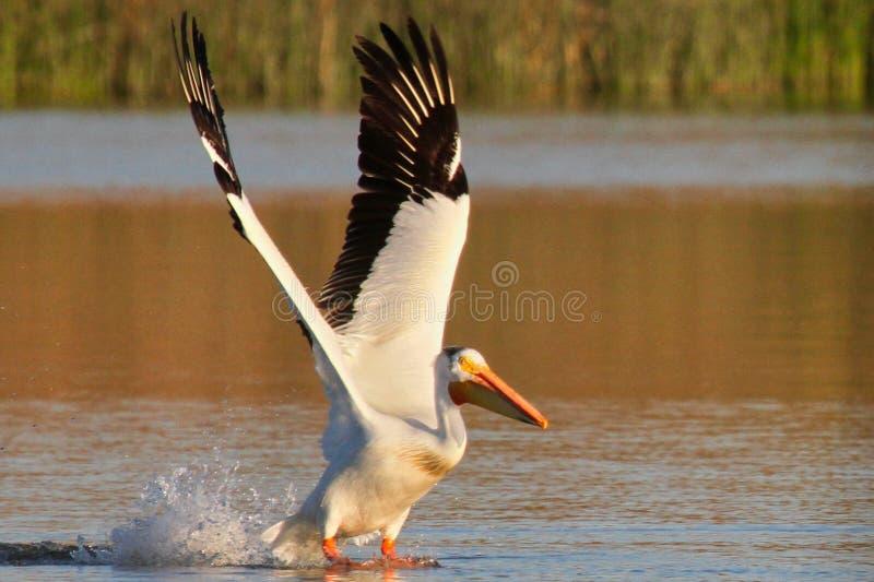 Пеликан принимая полет стоковые фотографии rf