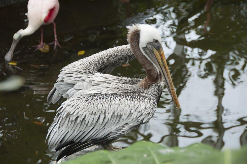 Пеликан стоя в воде стоковые изображения rf