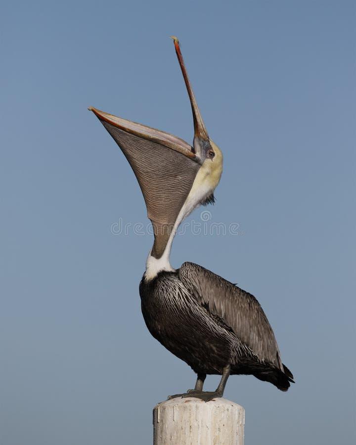 Пеликан с широким открытым мешком - ключ Брайна кедра, Флорида стоковая фотография rf
