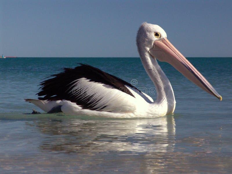 пеликан 0022 стоковое изображение rf