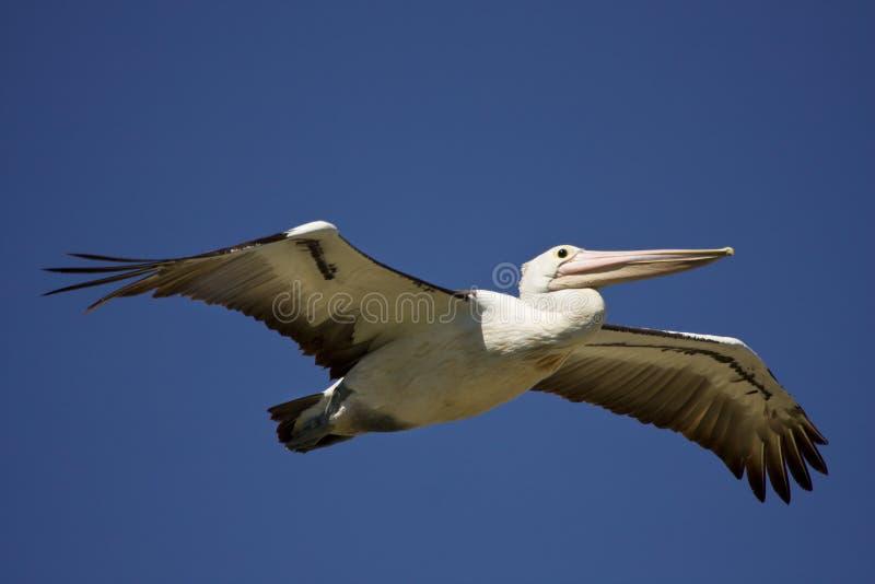 пеликан стоковое изображение