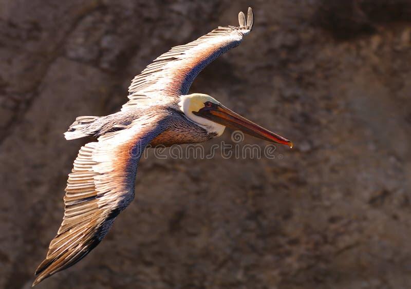 пеликан 19 стоковая фотография rf