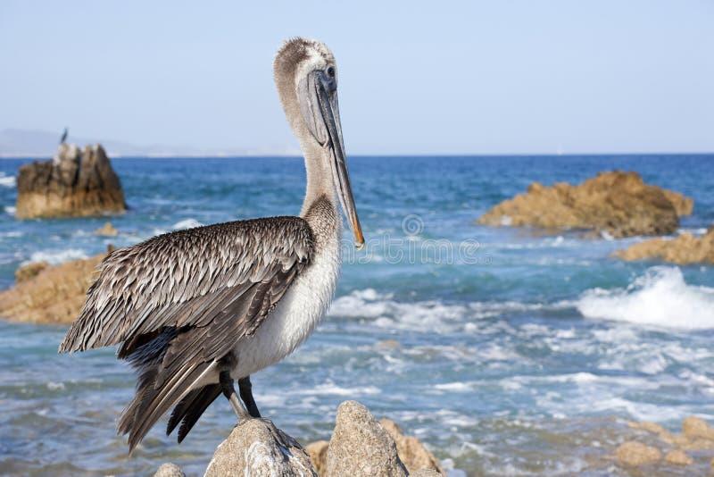 пеликан san lucas Мексики cabo стоковые изображения