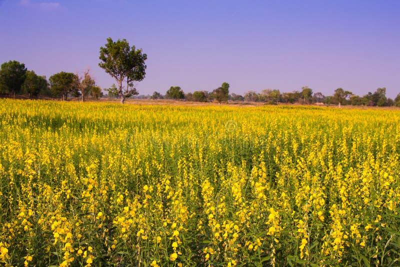 Пенька цветка или звонка пеньки Солнця индийская, пенька Мадраса стоковая фотография rf