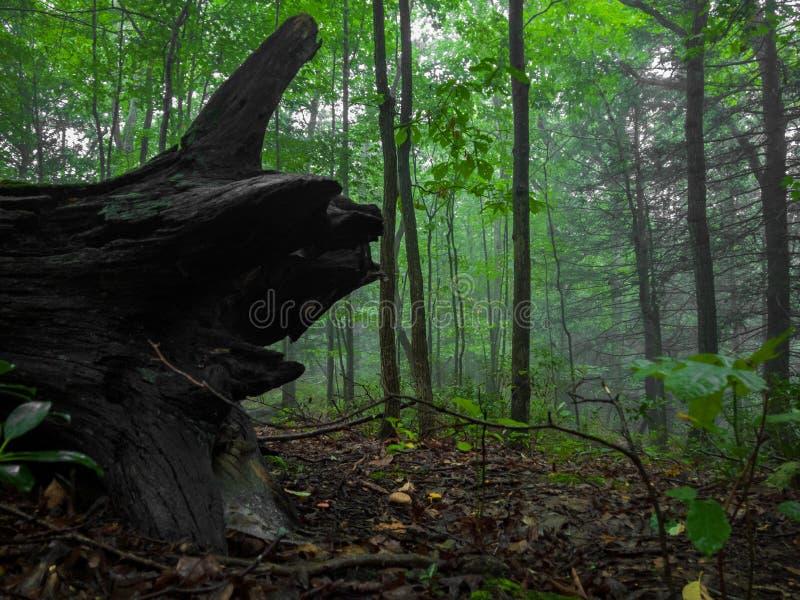 Пень в туманном лесе стоковые изображения rf