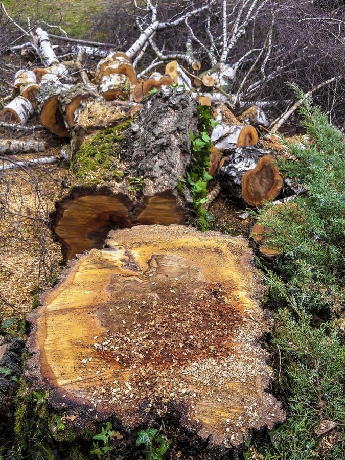 Пень дерева, валка дерева, деревянные части, отрезанные деревья обрабатывает изделие на определенную длину спиленный стоковая фотография rf