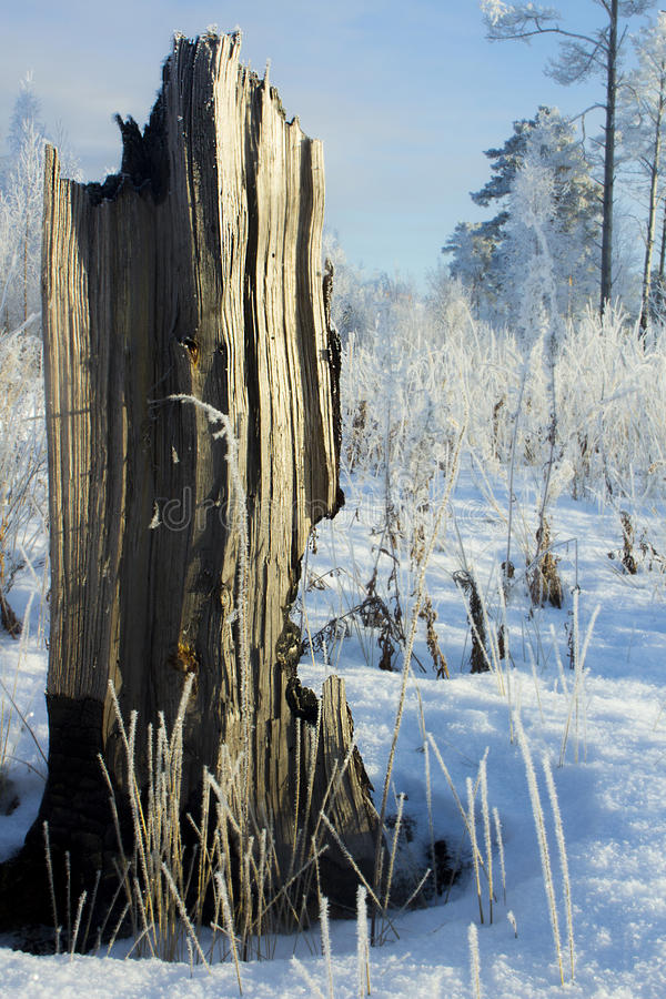 Пень дерева в лесе зимы стоковое изображение