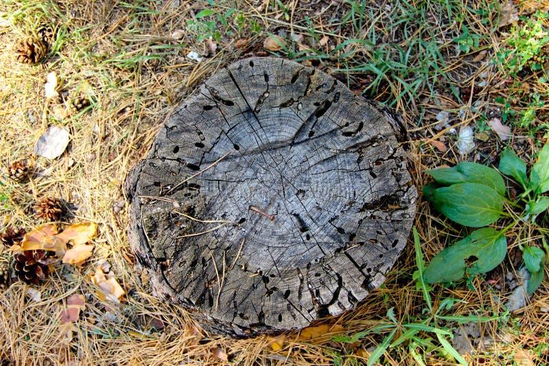 Пень дерева с червоточинами и ржавый ноготь в ем стоковые изображения