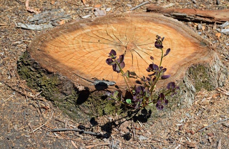 Пень дерева с regrowth и ящерицей греть на солнце стоковая фотография rf