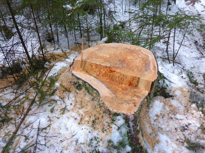 Пень и снежная древесина стоковое изображение rf