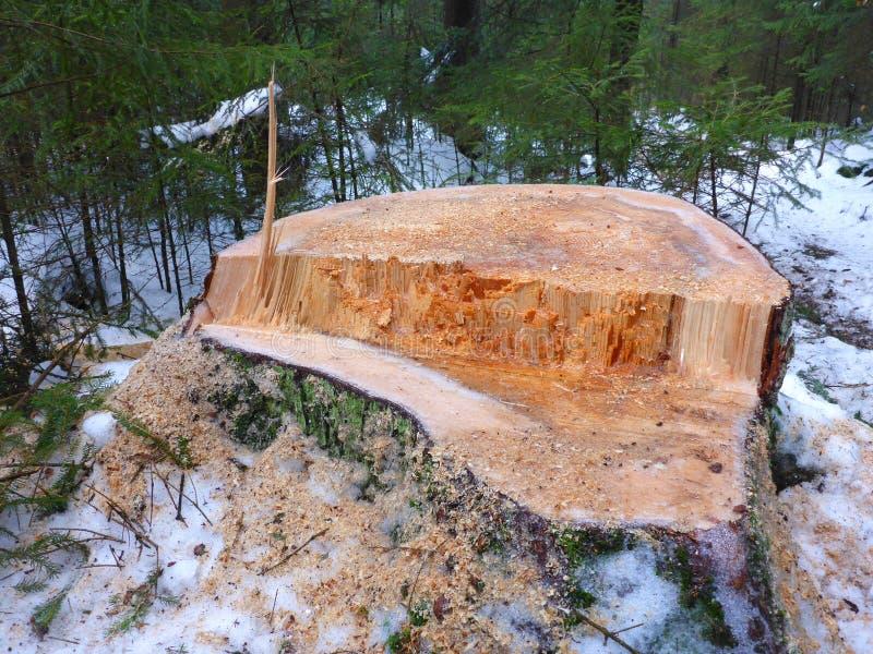 Пень и снежная древесина стоковое изображение