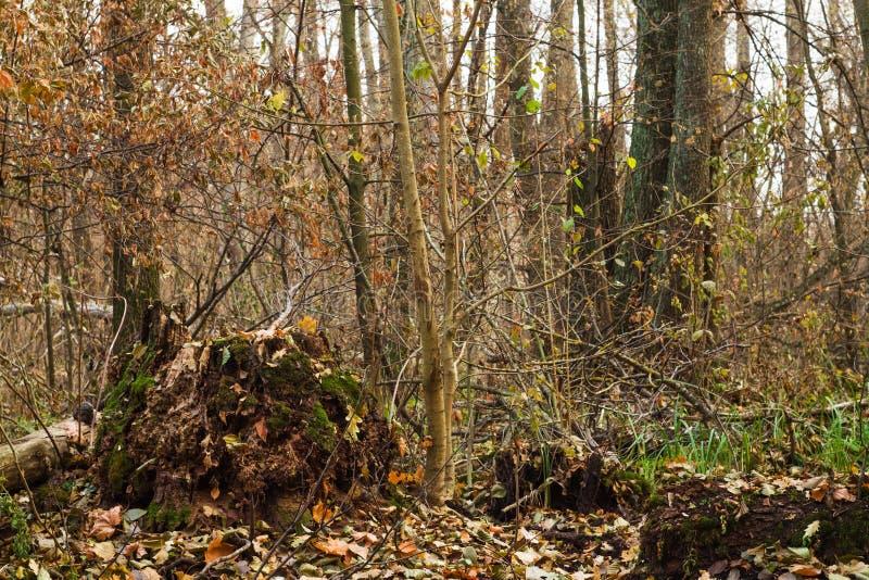 Пень, корни и ветви в старом лесе стоковое фото rf