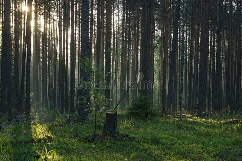 Пень от стоек заново валить дерева в середине леса на зоре стоковое изображение rf