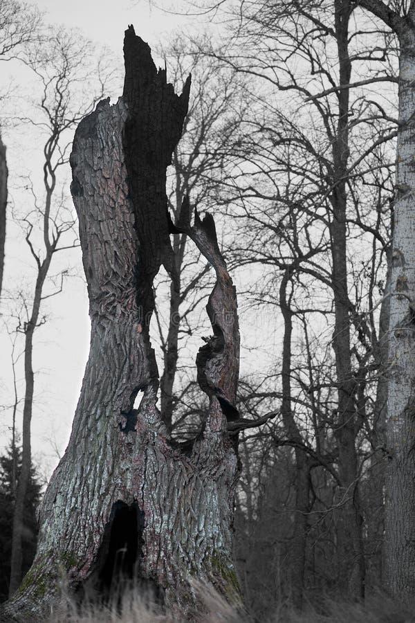 Пень древнего дуба стоковые изображения