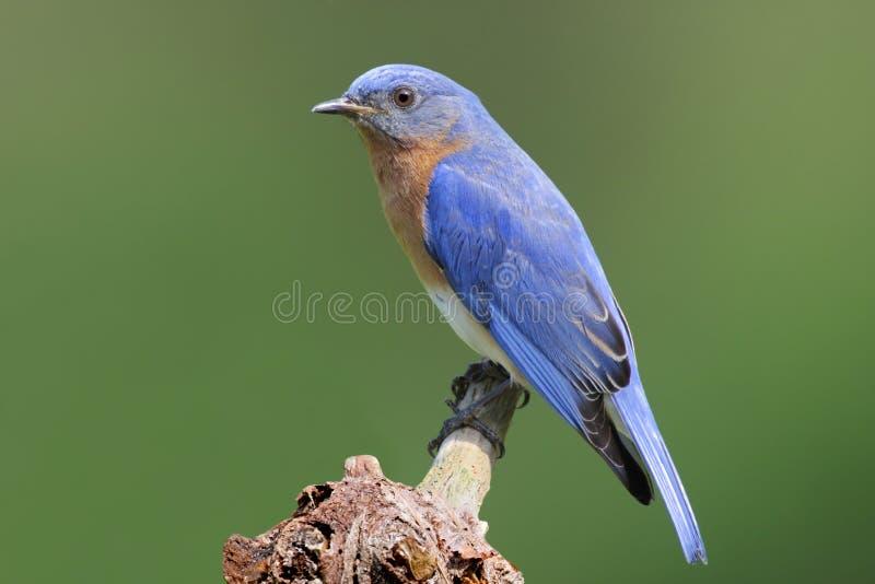 пень синей птицы стоковые фото