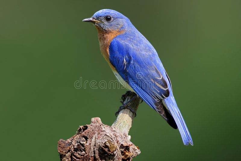 пень синей птицы стоковое изображение