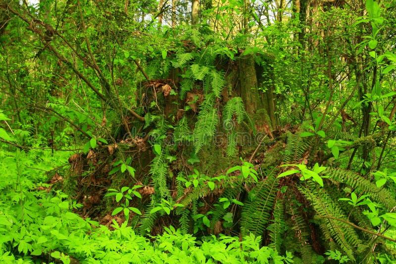 Пень Тихие океан северо-западные лес и дерево хвои с папоротниками стоковая фотография rf