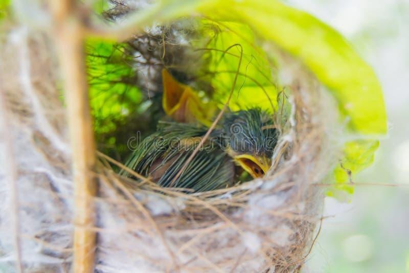 Пепельнообразные гнездо и цыпленоки Prinia стоковые изображения rf