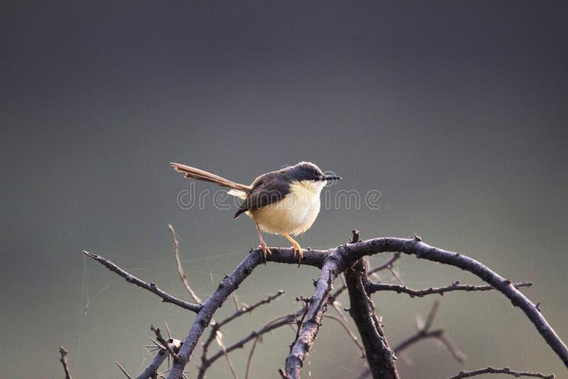 Пепельнообразный Prinia или пепельнообразная крапивниковые-певчая птица, socialis Prinia, Индия стоковая фотография rf
