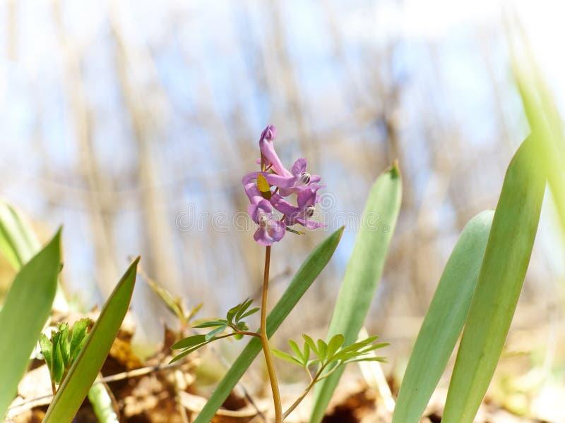 первая весна пущи цветков стоковое изображение rf