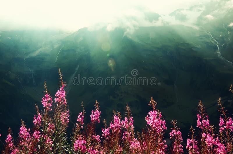 Первая весна цветет на предпосылке гор Альпов в пасмурном дне скопируйте космос Весна, лето, концепция перемещения в tendy стоковая фотография