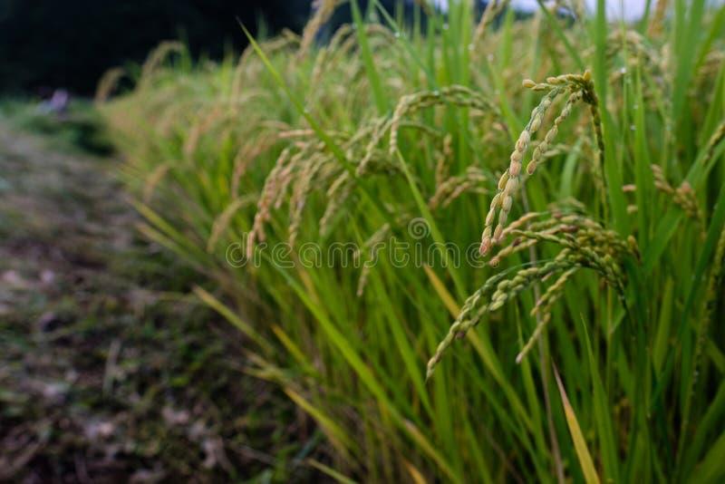 Первое ухо риса сезона стоковое фото