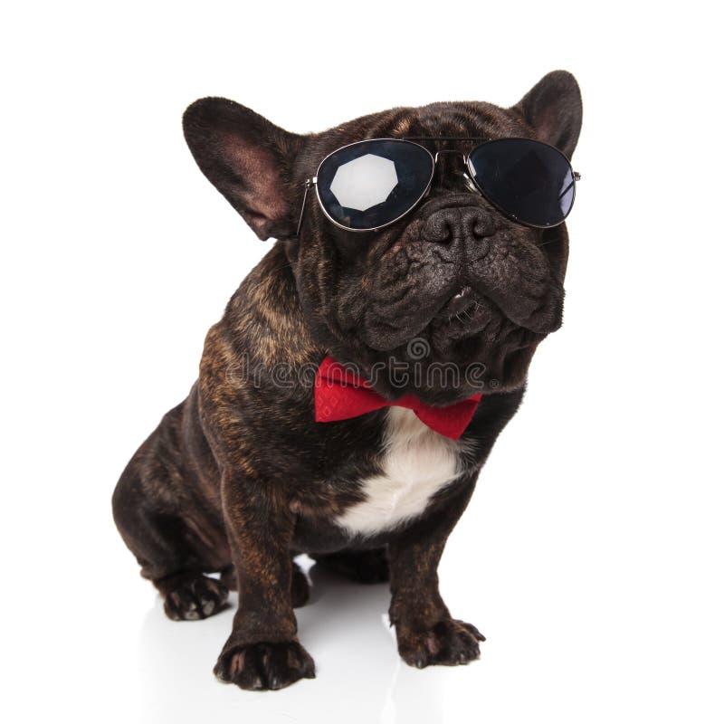Первоклассные солнечные очки французского бульдога нося и красный сидеть bowtie стоковое изображение