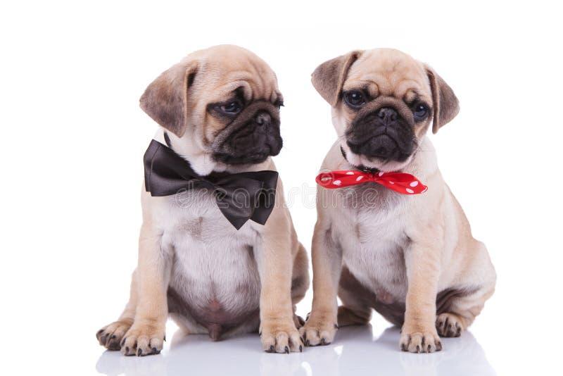 Первоклассные усаженные пары мопса нося прелестные bowties стоковое фото
