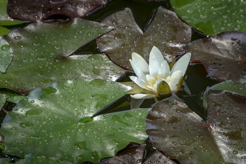 Первоначально перспектива на лилии белой воды или цветке лотоса Marliacea Rosea Nymphaea с темной предпосылкой влажных листьев стоковое изображение