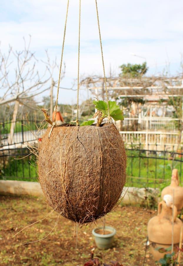 Первоначально цветочные горшки для цветка в кокосе стоковые изображения