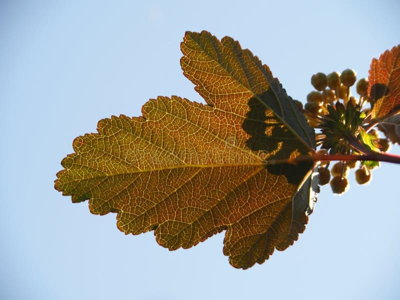 Первоначальные лист с тенью бутона цветка в голубом небе стоковое фото rf