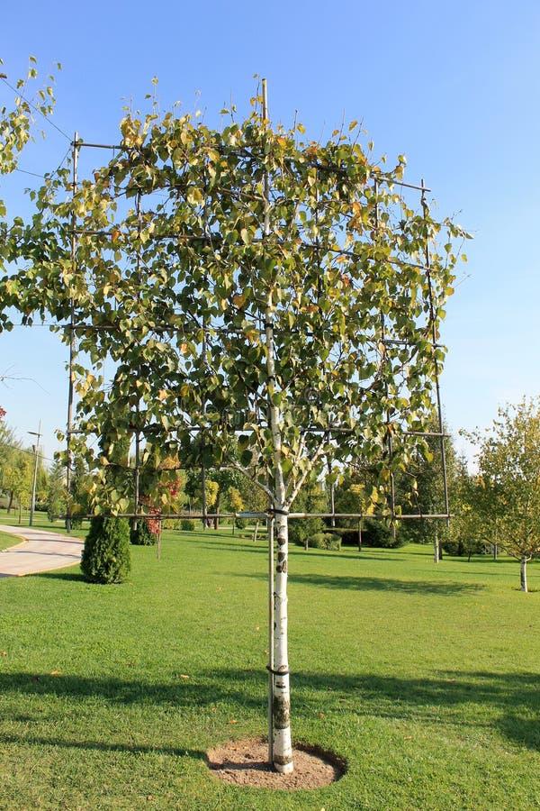 Первоначально дерево сформировало для благоустраивать на зеленой лужайке стоковое фото