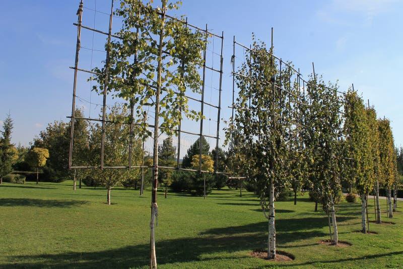 Первоначально дерево сформировало для благоустраивать на зеленой лужайке стоковое фото rf