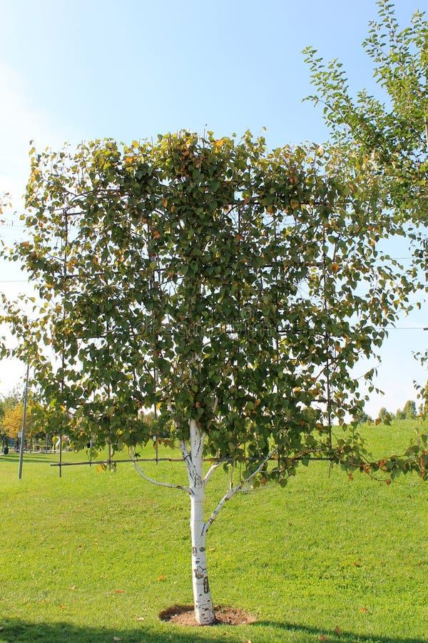 Первоначально дерево сформировало для благоустраивать на зеленой лужайке стоковая фотография