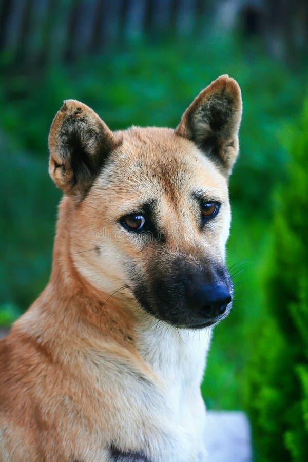 Первоначально собака Таиланда стоковое изображение rf