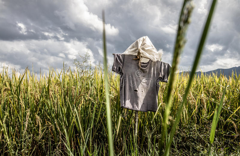 Первоначально чучело в рисовых полях стоковая фотография rf