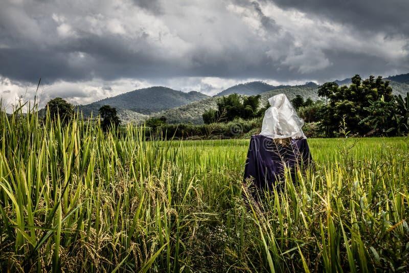 Первоначально чучело в рисовых полях стоковые изображения rf