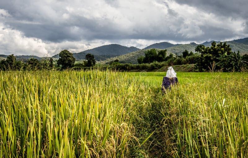Первоначально чучело в рисовых полях стоковое фото