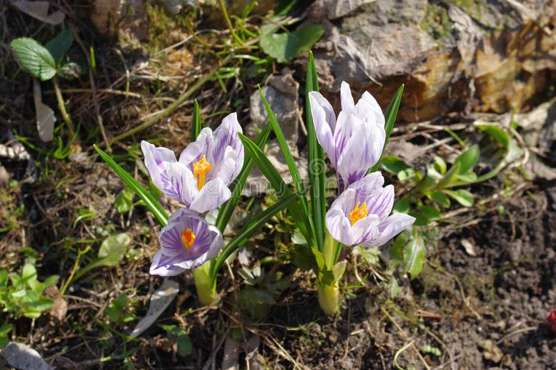 Первоцветы весной стоковые изображения rf