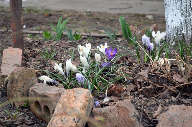 Первоцветы весны на кровати стоковые фотографии rf